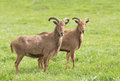 Barbary sheep two standing on grass and looking at camera Royalty Free Stock Image