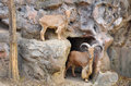 Barbary sheep wild sheep africa Stock Photography