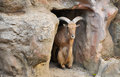 Barbary sheep wild sheep africa Royalty Free Stock Photography