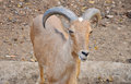 Barbary sheep wild sheep africa Stock Image