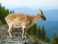Barbary sheep in wildness area Stock Images