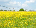 Barbed Wire Fence And Buttercup Field Royalty Free Stock Photo