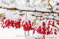 Barberry, First snow Royalty Free Stock Photo