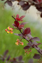 Barberry flowers Stock Image