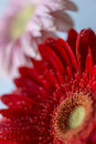 Barberton daisy gerbera jamesonii is a member of the genus it is also known as the transvaal and as barbertonse Royalty Free Stock Image