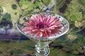 Barberton daisy gerbera jamesonii is a member of the genus in wine glass Stock Photos