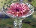 Barberton daisy gerbera jamesonii is a member of the genus in wine glass Stock Photo