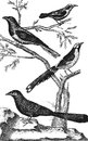 Barbu cuckoo bout couroucou vintage engraved illustration diderot and d alembert encyclopedia Royalty Free Stock Images
