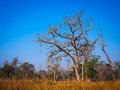 Bardia tree in riverine grassland in national park nepal Royalty Free Stock Photos