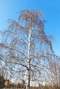 Bare birch tree in early spring day Stock Photography