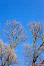 Bare branches of a tree against blue sky Royalty Free Stock Photo