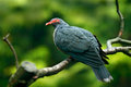 Bare-eyed Mountain-pigeon, Gymnophas albertisii, wood pigeon. forest bird in the nature habitat, green background, Papua New Guine