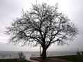 Bare leafless lone tree in winter or early spring Royalty Free Stock Photos