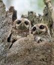 The Bare-legged Owl or Cuban Screech Owl Royalty Free Stock Photo
