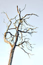 Bare old tree on bright light blue skuy Royalty Free Stock Photography