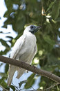 Bare throated bellbird procnias nudicollis sitting on a tree branch Royalty Free Stock Photos