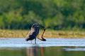 Bare-throated Tiger-Heron, Tigrisoma mexicanum, with kill fish. Action wildlife scene from Costa Rica nature. Animal feeding behav Royalty Free Stock Photo