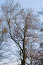 Bare tree autumn against blue clear sky Royalty Free Stock Photos