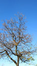Bare tree and blue sky Stock Image