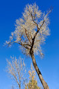 Bare tree and blue sky Royalty Free Stock Image