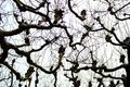 Bare tree silhouettes against winter cloudy sky. Bare branches under snow. Winter wood. Royalty Free Stock Photo