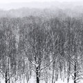 Bare trees in snowfall in forest in winter Royalty Free Stock Photo