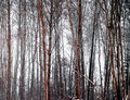 Bare trees in winter evening Royalty Free Stock Photo