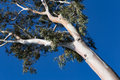 Bare trunk sycamore tree against a blue sky. Royalty Free Stock Photo
