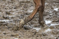 Barefoot horse in the mud walks Royalty Free Stock Photo