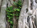 Bark of the Banyan tree Royalty Free Stock Photos