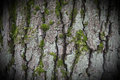 Bark of a beech tree Royalty Free Stock Photo