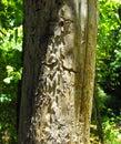 Bark Beetle Damage , Nacogdoches, TX Royalty Free Stock Photo