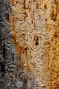 Bark beetle tracks from beetles on a dead tree trunk Stock Image