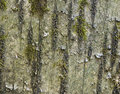 Bark of cherry with mosses Stock Photos
