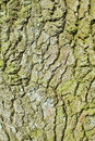 Bark close up image of the of an oak tree Stock Photo
