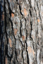 The bark of coniferous wood texture crust siberian larch Stock Photography