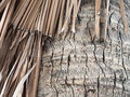 Bark and dry coconut palm leaf Royalty Free Stock Photo