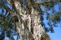 Bark Of The Flax Paperbark Tre...