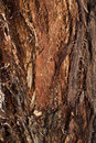 Bark of Forman Eucalyptus, tree of Western Australia Royalty Free Stock Photo