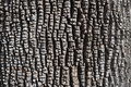 Bark of Green Ash Tree Royalty Free Stock Photo