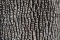Bark of Green Ash Tree Royalty Free Stock Photo
