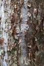 Bark of the Gumbo Limbo tree Royalty Free Stock Photo