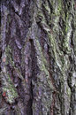 Bark of a larch in wood background Stock Images