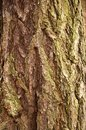 Bark of a larch in wood background Stock Image