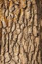 Bark of oak Stock Photography