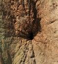 Bark of oak tree Royalty Free Stock Photo
