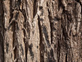 Bark of an old grey tree Stock Image