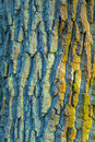 Bark of an old oak tree in harmonic green yellow colors Royalty Free Stock Image