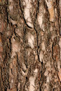 The bark of a pine Royalty Free Stock Photography