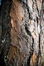 Bark of Pine Tree Royalty Free Stock Photo